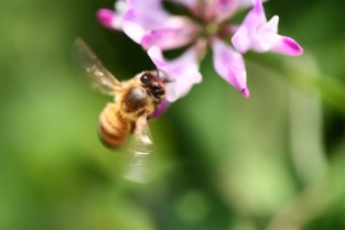 Bijenpopulatie onder de loep genomen