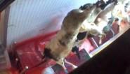 Slachthuis Verbist veroordeeld tot boete, undercoverbeelden Animal Rights nietig verklaard