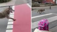Wolf rent rakelings voorbij vader en dochter in centrum van stad