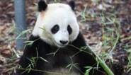 Arbeidsauditoraat onderzoekt incident tussen panda en verzorger in Pairi Daiza