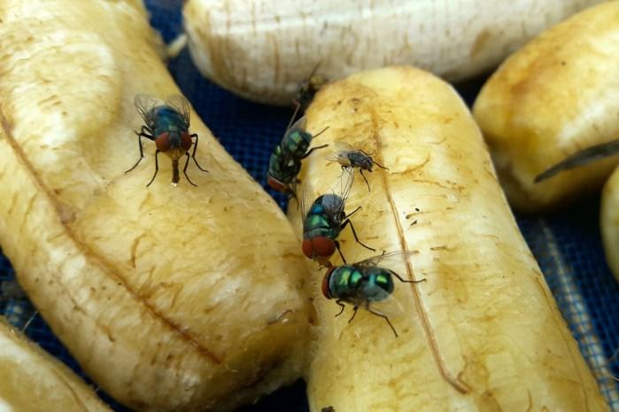 Ze doen geen vlieg kwaad, maar toch zijn ze er altijd meteen, die vliegen: hoe komt dat toch?