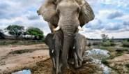 Afrikaanse olifanten hebben status van bedreigde en ernstig bedreigde diersoort