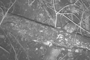 Zeldzame otter voor het eerst in 9 jaar op beeld vastgelegd in Rivierenland