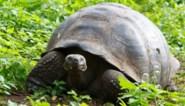 Valies met 185 schildpadden ontdekt op luchthaven Galapagoseilanden