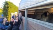 Dierenrechtenactivisten streamen laatste momenten van varkens en runderen voor ze Mechels slachthuis binnenrijden