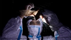 """WHO-rapport: """"Overdracht van coronavirus van vleermuis via ander dier op mens waarschijnlijk tot zeer waarschijnlijk"""""""