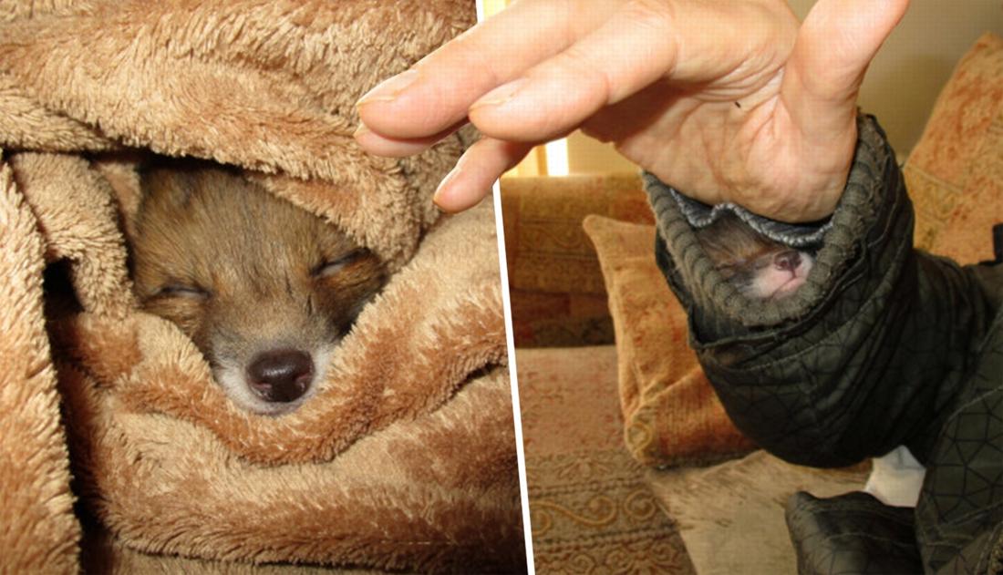 """Man adopteert vosje dat in zijn mouw kroop om een dutje te doen: """"Onze vriendschap is magisch"""""""