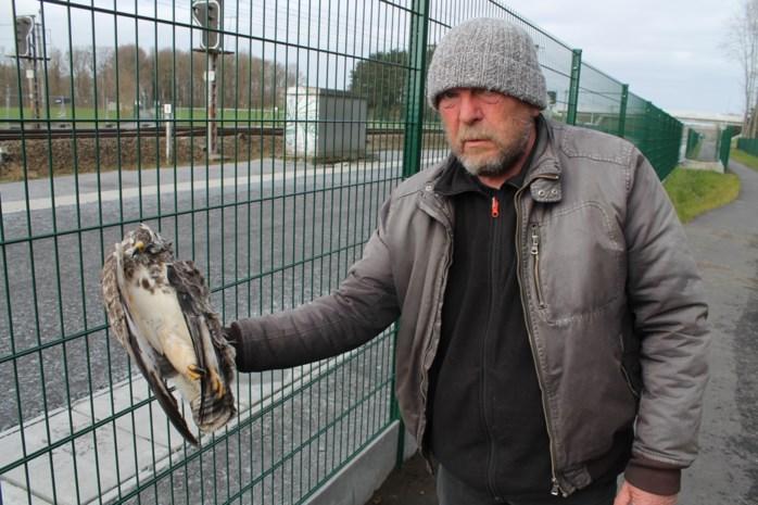 """Roofvogels vliegen te pletter tegen nieuwe spoorafsluiting: """"De vogels zien misschien wel de palen, maar de draad duidelijk niet"""""""