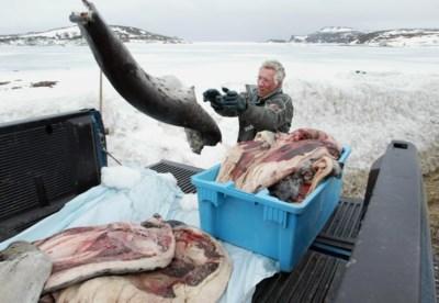 """Canadezen openen jacht op 400.000 zeehonden: """"Niet de dieren, maar de praktijk is ten dode opgeschreven"""""""