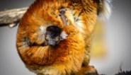 Planckendael verwelkomt allereerste kleine moormaki