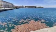 Duizenden grote kwallen verzamelen in Italiaanse haven
