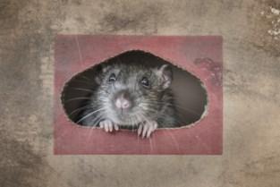 Fors meer oproepen voor rattenplagen (en zelfs dat is de schuld van corona)