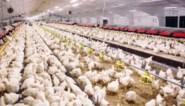 """Heisa over komst grote kippenkwekerij aan Belgisch-Franse grens: """"Op 300 meter van een school"""""""