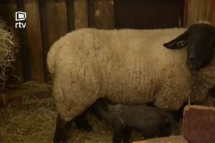 Zeldzame schapenvierling geboren in Olmen