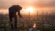 """Drama voltrekt zich voor (Belgische) wijnboeren in Frankrijk: """"Tweede genadeslag na coronaravage"""""""