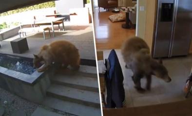 Hongerige beer dringt keuken binnen maar daar wacht hem een onaangename verrassing