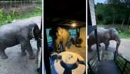 Man schrikt wanneer olifant zijn huis binnenwandelt