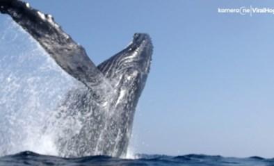 Bultrugwalvis verrast snorkelaars met spectaculaire sprong