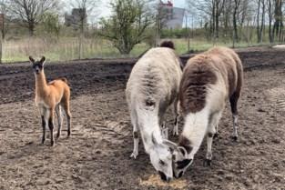 Labiomista verwelkomt pasgeboren lama, ook lama Winter is drachtig