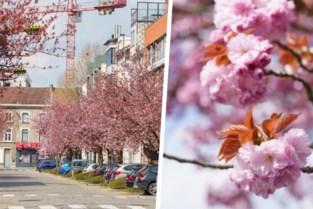 La vie en rose: kerselaars hullen Gentse straat in roze kleurenpracht
