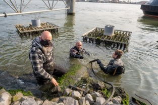Garnalen, wormen en slakken helpen water zuiveren in haven