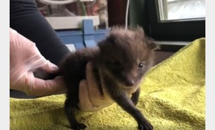 Jonge vosjes gevonden in Deurne