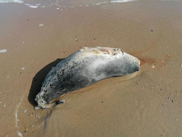 """Alweer onthoofd zeehondje aangetroffen op strand, visnet waarschijnlijk boosdoener: """"Hier kunnen we weinig aan doen"""""""