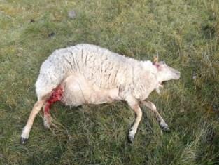 Loslopende hond richt bloedbad aan op Kalmthoutse Heide: twintigtal schapen aangevallen