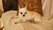 """Chihuahua sterft na trap van jogger: """"Voor de ogen van mijn dochter. Ze is in shock"""""""