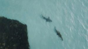 """Surfer filmt krokodil die achtervolgd wordt door ander roofdier: """"Blij dat ik niet in het water zat"""""""