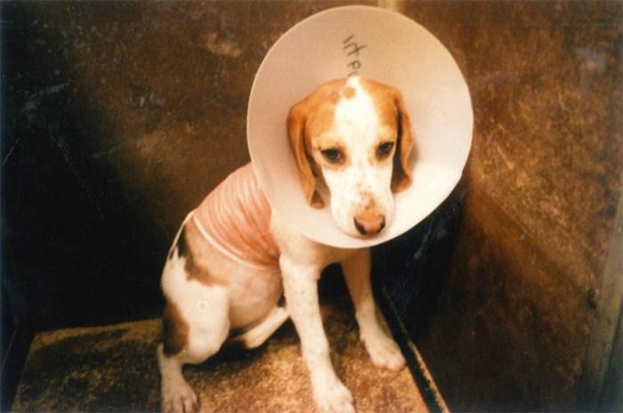 Terugroepactie voor Beagles: Gaia start opvallende campagne om dierproeven aan te kaarten