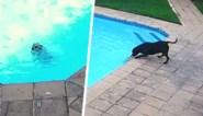 Hond moet zwemmen voor haar leven na val in zwembad, tot andere viervoeter opduikt