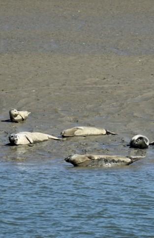 Waarom er almaar meer dode zeehonden aanspoelen op onze kust