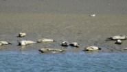 Waarom er almaar meer dode zeehonden aanspoelen op onze kust, en waarom dat eigenlijk goed nieuws is
