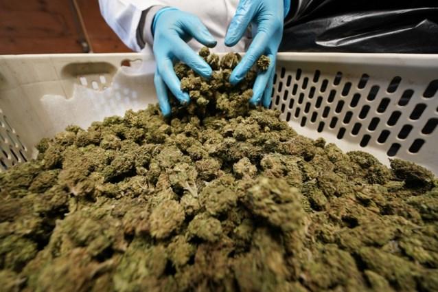Toxicologen trekken middeltjes van nieuw Belgisch cannabisbedrijf in twijfel