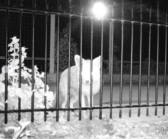 Drongenaars, houd uw kippen binnen: vos en marter aan het werk