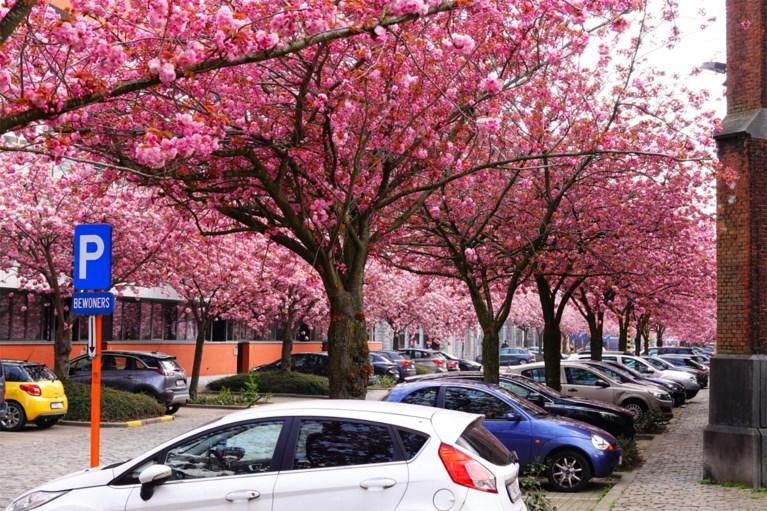 Roze explosie in Gent: bloemenpracht geeft parken en straten prachtig kleurtje
