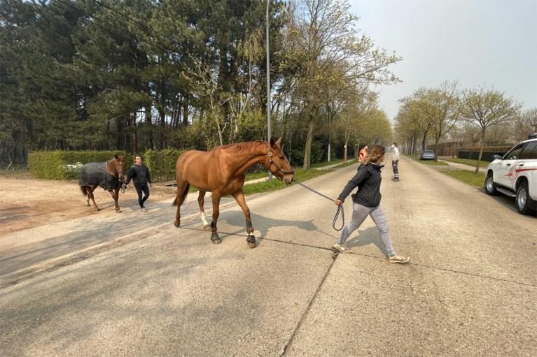 Opvallende operatie: 28 paarden geëvacueerd naar buurman door heidebrand