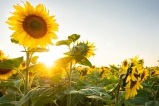 Landelijke Gilde zoekt jonge tuiniers: wie kweekt de hoogste zonnebloem?