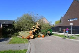 Gezonde jonge bomen moeten wijken omdat ze stoep kapotmaken