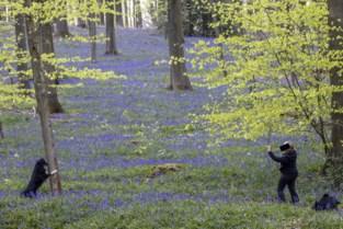 """Boshyacinten leggen prachtig tapijt: """"Maar loop de bloemen niet plat"""""""