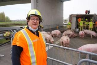Helse klus voor brandweer: 190 varkens in gekantelde vrachtwagen, bijna 80 dieren overleven het niet