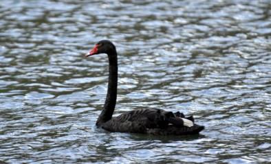 """Zwarte zwaan sterft na aanval, amper vijf minuten na haar terugkeer in stadspark: """"Ze kende geen geluk"""""""