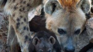 Twee gevlekte hyena's geboren in Beekse Bergen