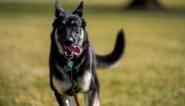 Hond van Joe Biden terug in Witte Huis na bijttraining