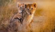Regering Zuid-Afrika wil einde aan leeuwenfokkerij