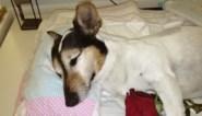 Man vindt dode vos tijdens wandeling met hond, hond sterft even later aan vergif