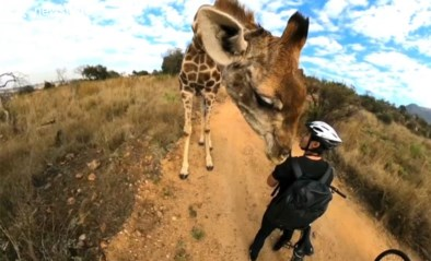 """Fietsers ontmoeten iets wel erg vriendelijke giraf: """"Ik kon zijn adem voelen"""""""