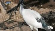 """Heilige Ibis gevangen in kippenhok in Wespelaar: """"Het was duidelijk dat het dier honger had"""""""