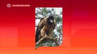 Grootste roofvogel van Europa gespot boven het Waasland